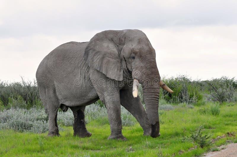 Elephant On Pasture Royalty Free Stock Photos