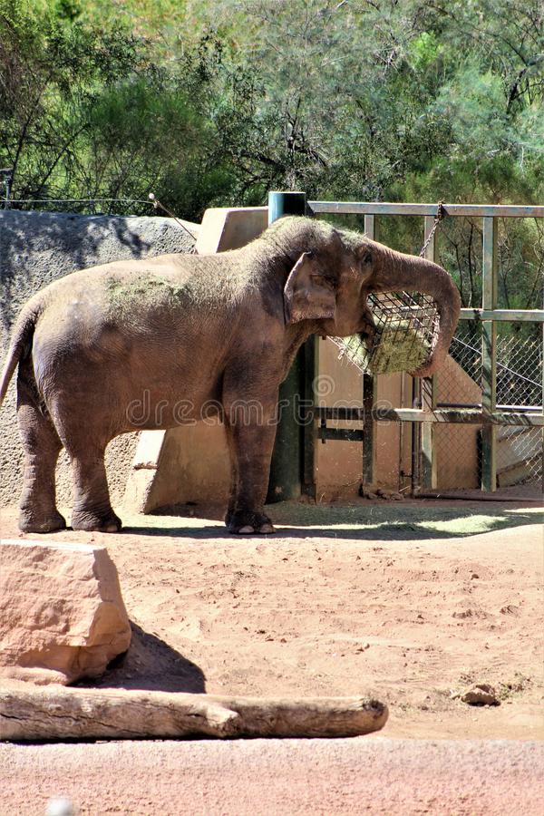 Phoenix Zoo, Arizona Center for Nature Conservation, Phoenix, Arizona, United States. Elephant at the Phoenix Zoo, Center for Nature Conservation, located in royalty free stock photography