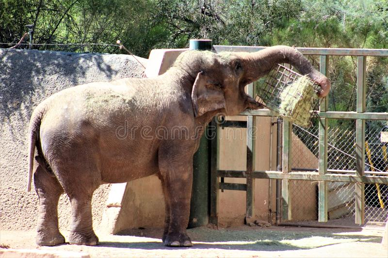 Phoenix Zoo, Arizona Center for Nature Conservation, Phoenix, Arizona, United States. Elephant at the Phoenix Zoo, Center for Nature Conservation, located in stock image