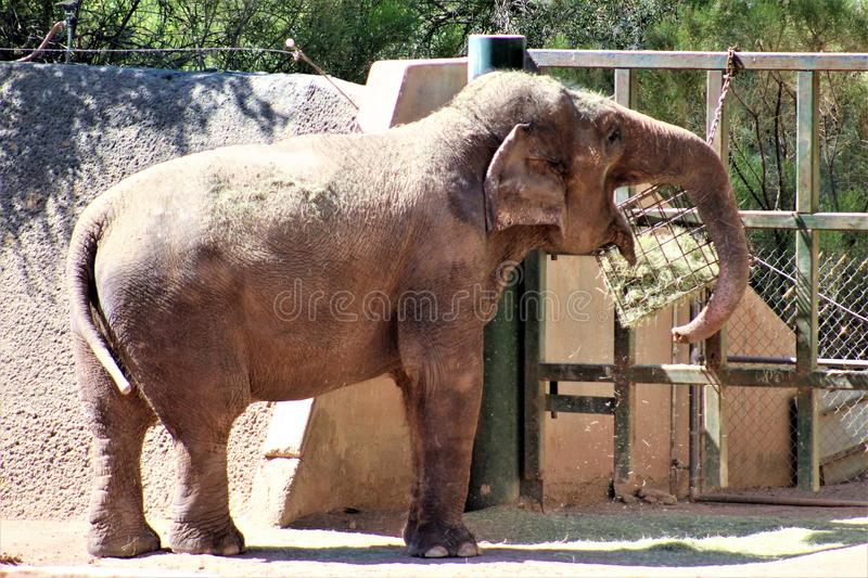 Phoenix Zoo, Arizona Center for Nature Conservation, Phoenix, Arizona, United States. Elephant at the Phoenix Zoo, Center for Nature Conservation, located in stock images
