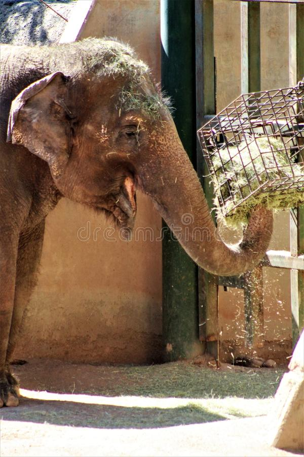 Phoenix Zoo, Arizona Center for Nature Conservation, Phoenix, Arizona, United States. Elephant at the Phoenix Zoo, Center for Nature Conservation, located in royalty free stock image
