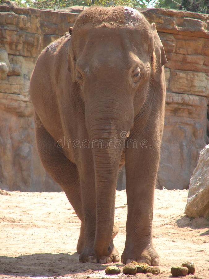 Download Elephant stock image. Image of branches, bush, head, animal - 33068161