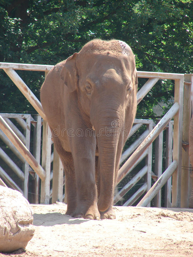 Download Elephant stock photo. Image of calf, endangered, asian - 33068176