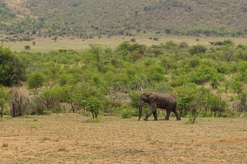 Elephant in Pilanesberg national park stock images
