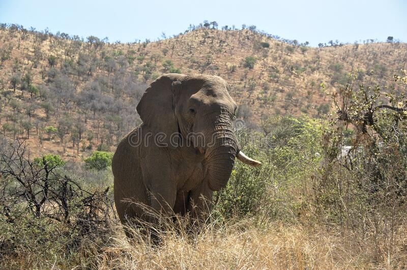 Elephant at Pilanesberg National Park. View of an elephant eating from a tree at Pilanesberg National Park, North West Province, South Africa stock image