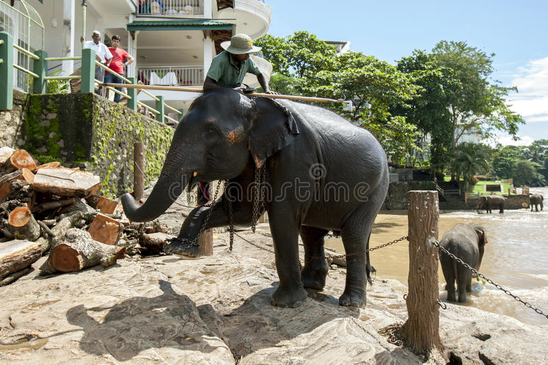 An elephant from the Pinnawala Elephant Orphanage (Pinnawala) begins it walk from the Maha Oya River to the orphanage. An elephant and mahout from the royalty free stock images