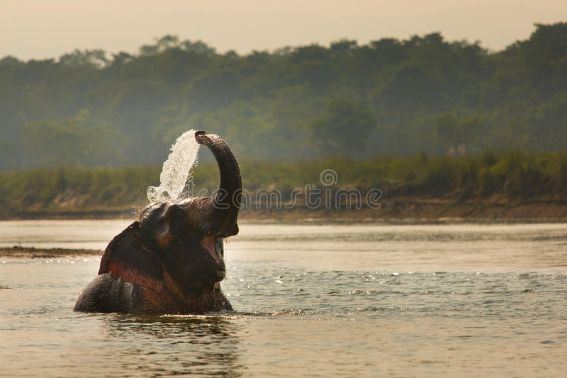 Elephant playing with water in a river, Chitwan Nationl Park, Nepal stock image