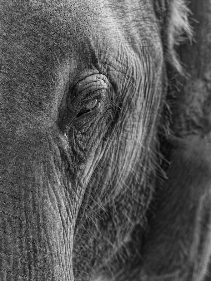 Free Elephant Portrait Royalty Free Stock Image - 14160436
