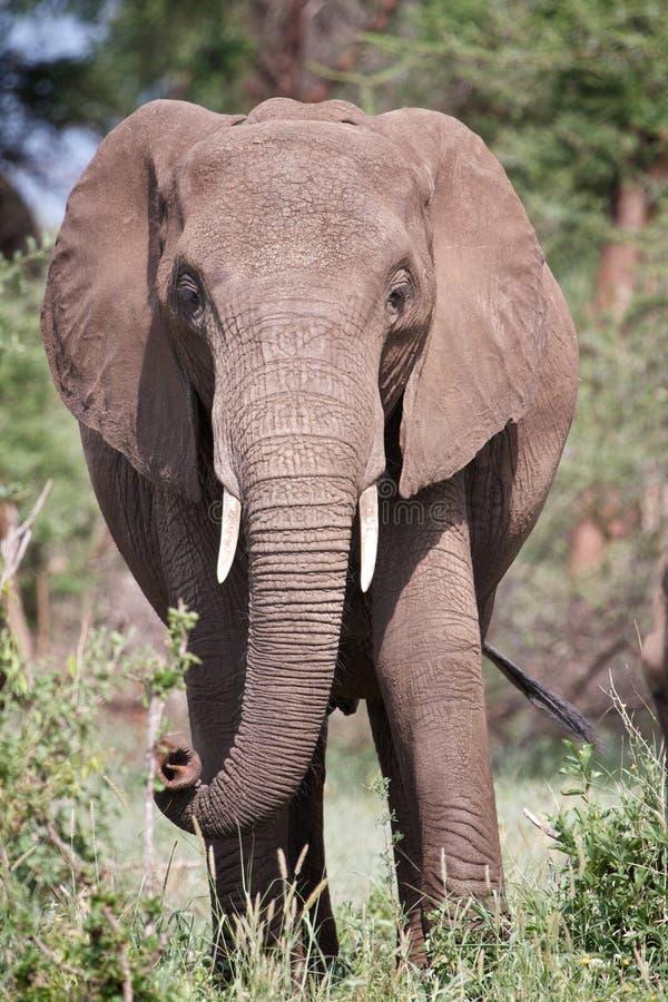 Free Elephant Portrait Royalty Free Stock Photos - 19598768