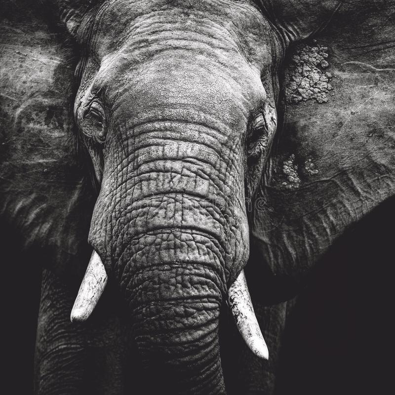 Download elephant portrait stock photo image of close black 79385704
