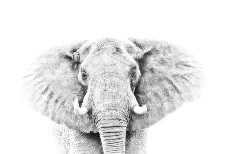 Elephant portrait in high key. On white background royalty free stock photos