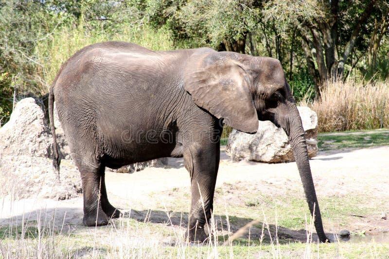 Download Elephant stock image. Image of asian, nature, ears, safari - 29914257