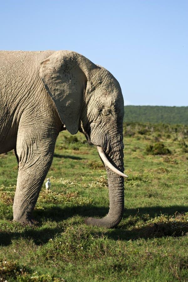 Elephant Profile royalty free stock image