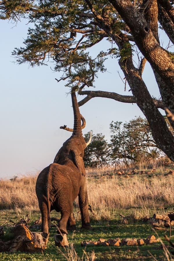Elephant reaching royalty free stock photography