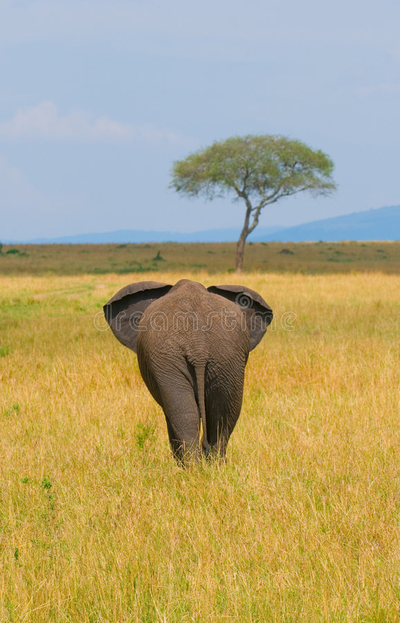 Elephant, rear view royalty free stock image