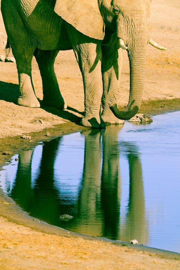 Elephant at waterhole in Etosha National Park, Namibia. Elephant reflected in water at waterhole in Etosha National Park, Namibia stock photo