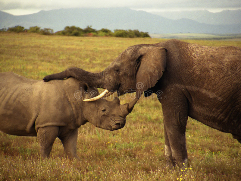 An elephant and a rhino royalty free stock image