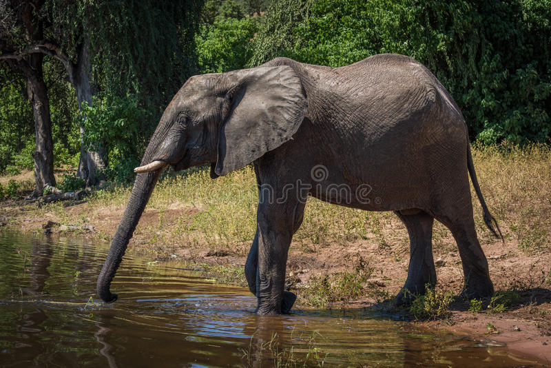 Elephant on riverbank stretching trunk to drink stock images