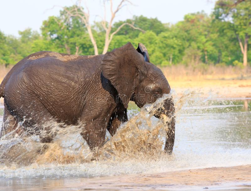 Elephant running through the water with lots of splashing in Hwange National Park. Elephant running into the water with water splashing against a natural bush stock image