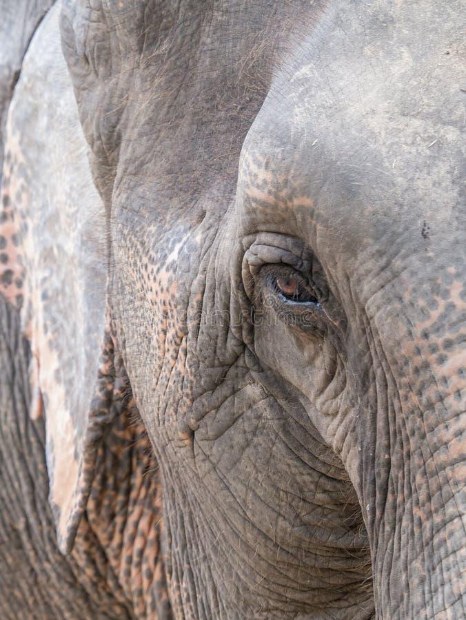 Elephant's eye stock image. Image of asian, white, head ...