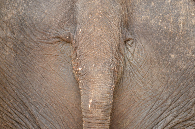 Elephant's Tail. Elephant's rear end and the tail close up royalty free stock photo