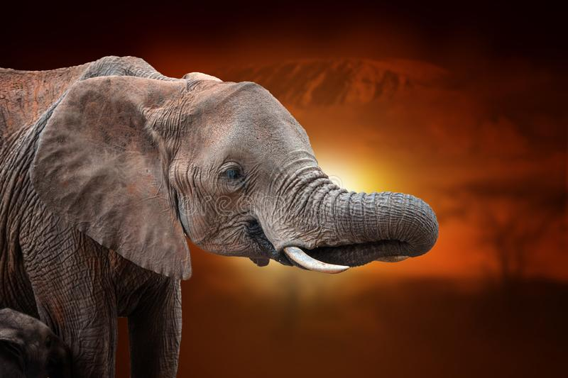 Elephant on savanna landscape background and Mount Kilimanjaro at sunset. Close elephant on savanna landscape background and Mount Kilimanjaro at sunset stock photos
