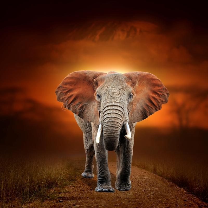 Elephant on savanna landscape background and Mount Kilimanjaro at sunset. Close elephant on savanna landscape background and Mount Kilimanjaro at sunset royalty free stock photography