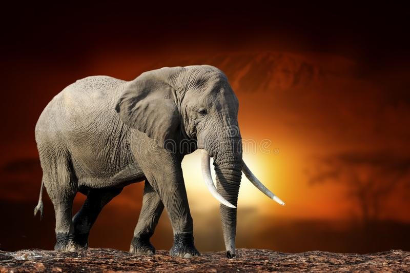 Elephant on savanna landscape background and Mount Kilimanjaro at sunset. Close elephant on savanna landscape background and Mount Kilimanjaro at sunset stock photography