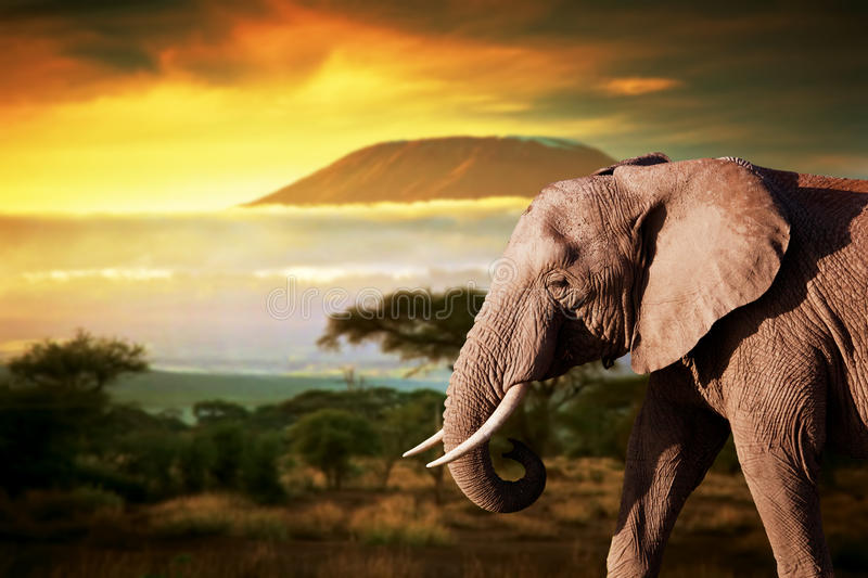 Elephant on savanna. Mount Kilimanjaro at sunset. Elephant on savanna landscape background and Mount Kilimanjaro at sunset stock photos