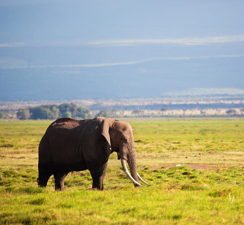 Elephant On Savanna. Safari In Amboseli, Kenya, Africa Stock Photo