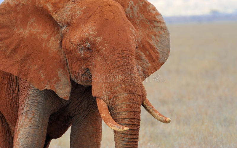 Elephant on savannah in Africa royalty free stock photos