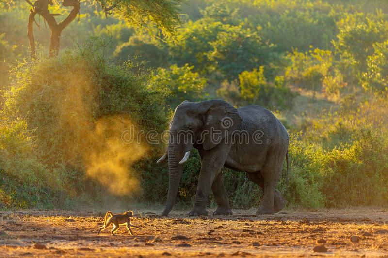 Elephant in savannah in namibia stock photography