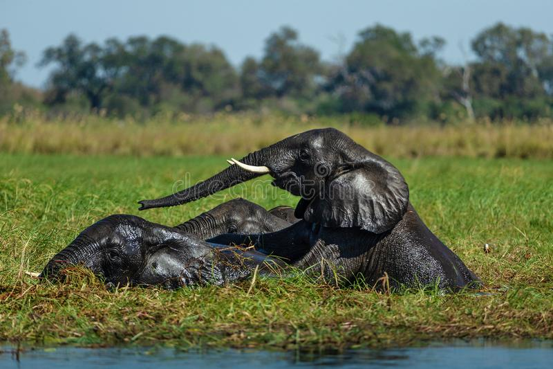Elephant in savannah in namibia royalty free stock photo