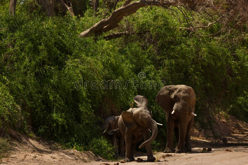 Elephant in savannah in Namibia royalty free stock images
