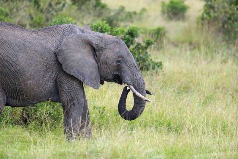 Elephant on savannah royalty free stock photo