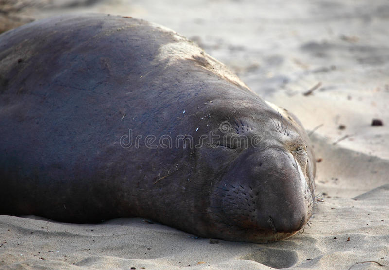 Download Elephant seal stock photo. Image of outdoors, antarctic - 22624158