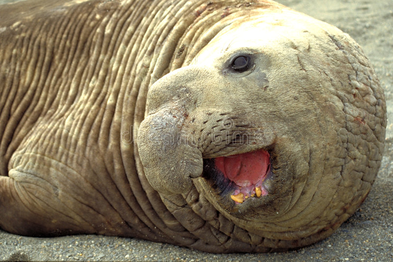 Download Elephant seal stock image. Image of animals, south, seals - 748907