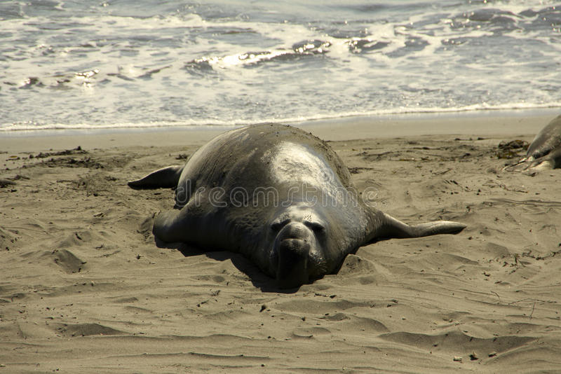 Elephant Seal On Beach Stock Photography