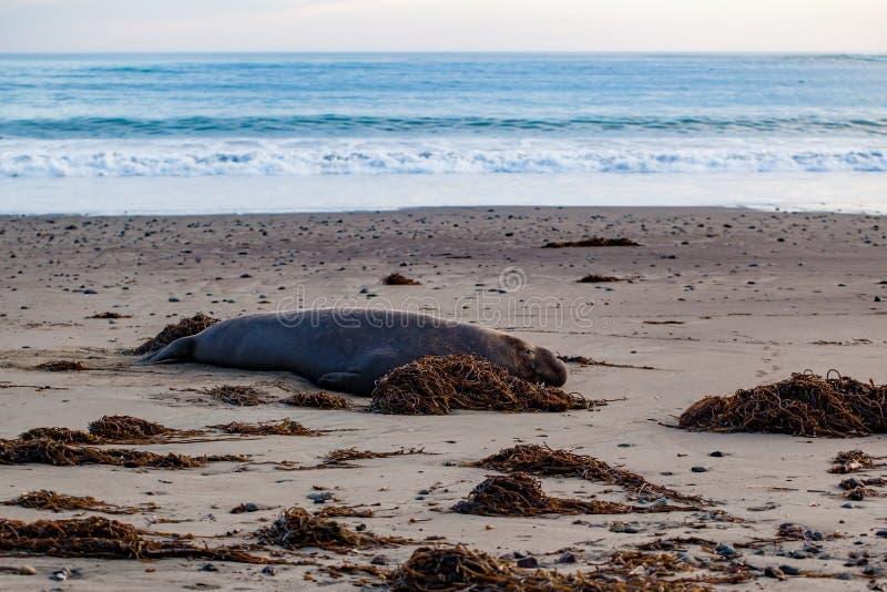 Elephant seal on the beach royalty free stock photos
