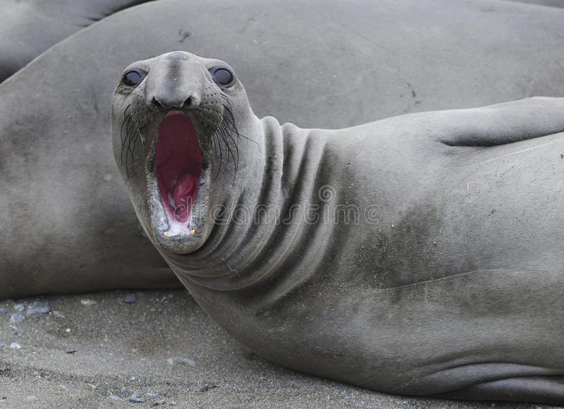 Download Elephant Seal Bellowing,piedras Blancas,california Stock Photo - Image: 15950418