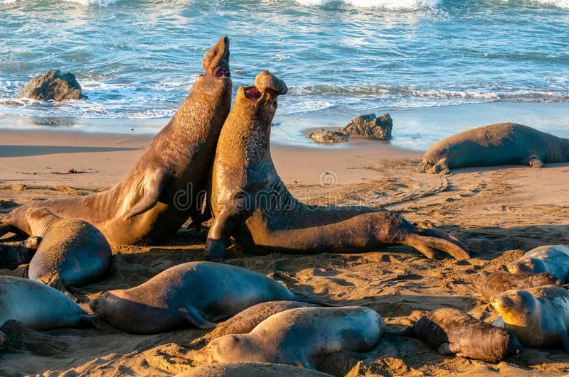 Elephant Seal Bull Fight royalty free stock images