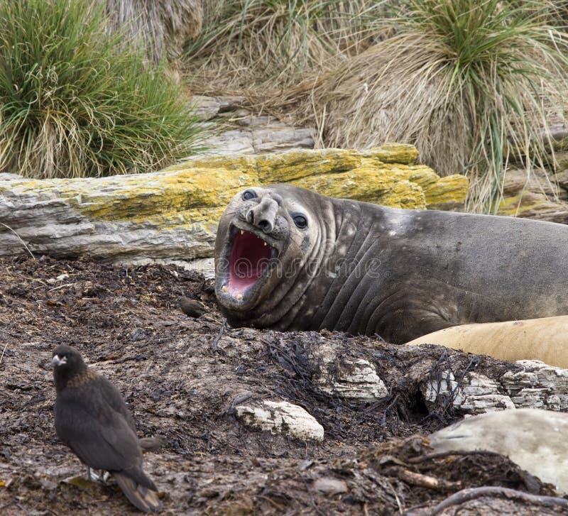 Download Elephant Seal - Falklands stock photo. Image of falkland - 10794302