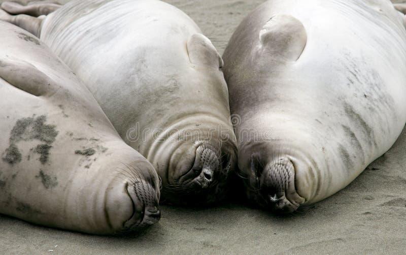 Elephant Seal Pups Royalty Free Stock Photo