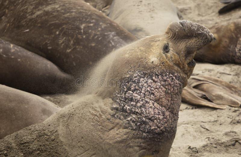Elephant Seal Sand Bathing Stock Photos