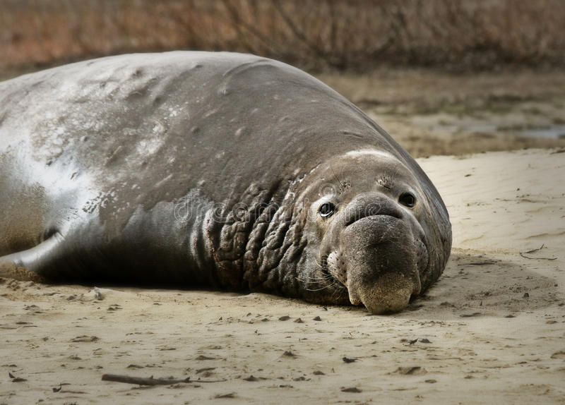 Download Elephant Seal On The Shore Royalty Free Stock Photo - Image: 26741745