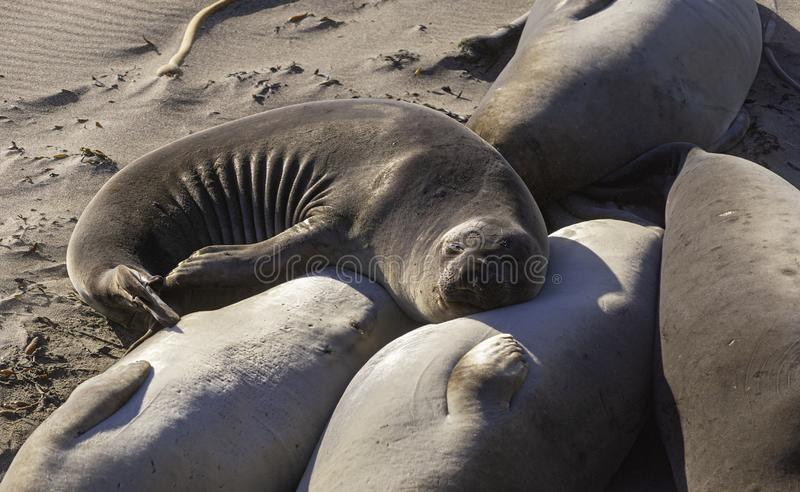 Elephant Seal Sleeping with Its Head on a Another Seal`s Belly royalty free stock photography