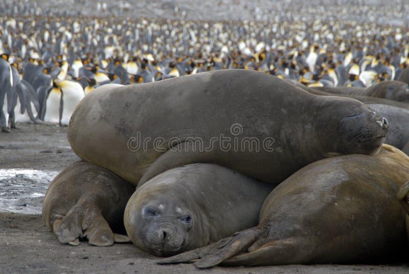 Elephant Seals. Sout Georgia, Antarctica stock images