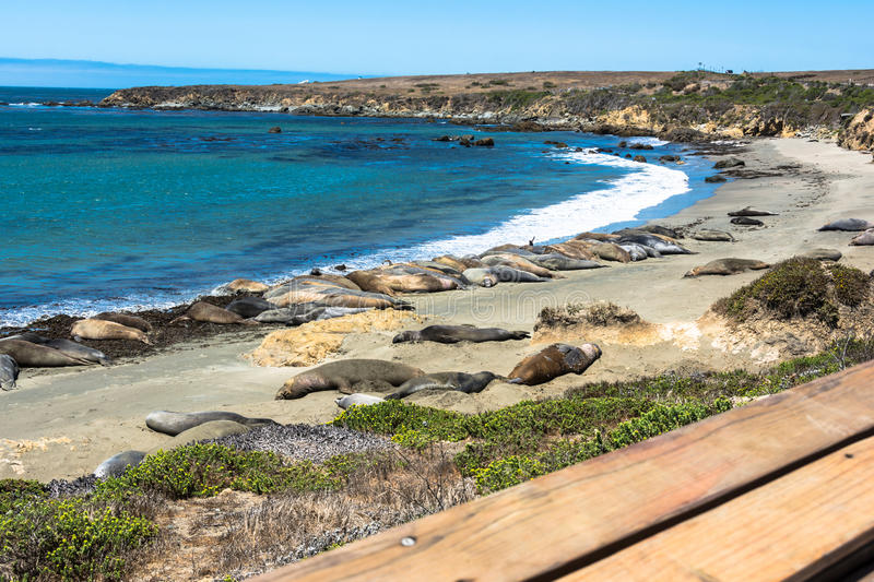 Elephant seals on the beach, San Simeon, California stock photography