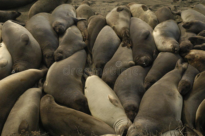 Elephant seals in California royalty free stock photo