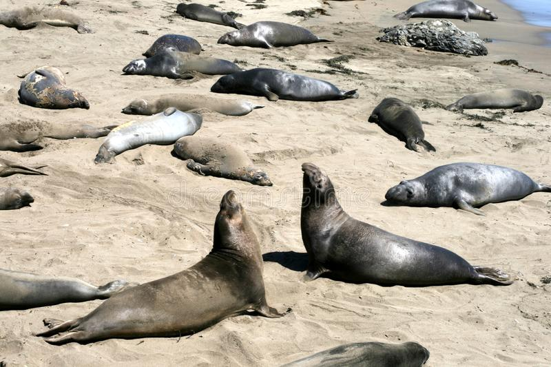 Download Elephant Seals In California Stock Image - Image of fauna, seal: 8493747